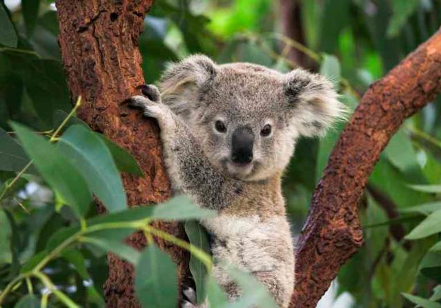 Hold A Koala - Australia