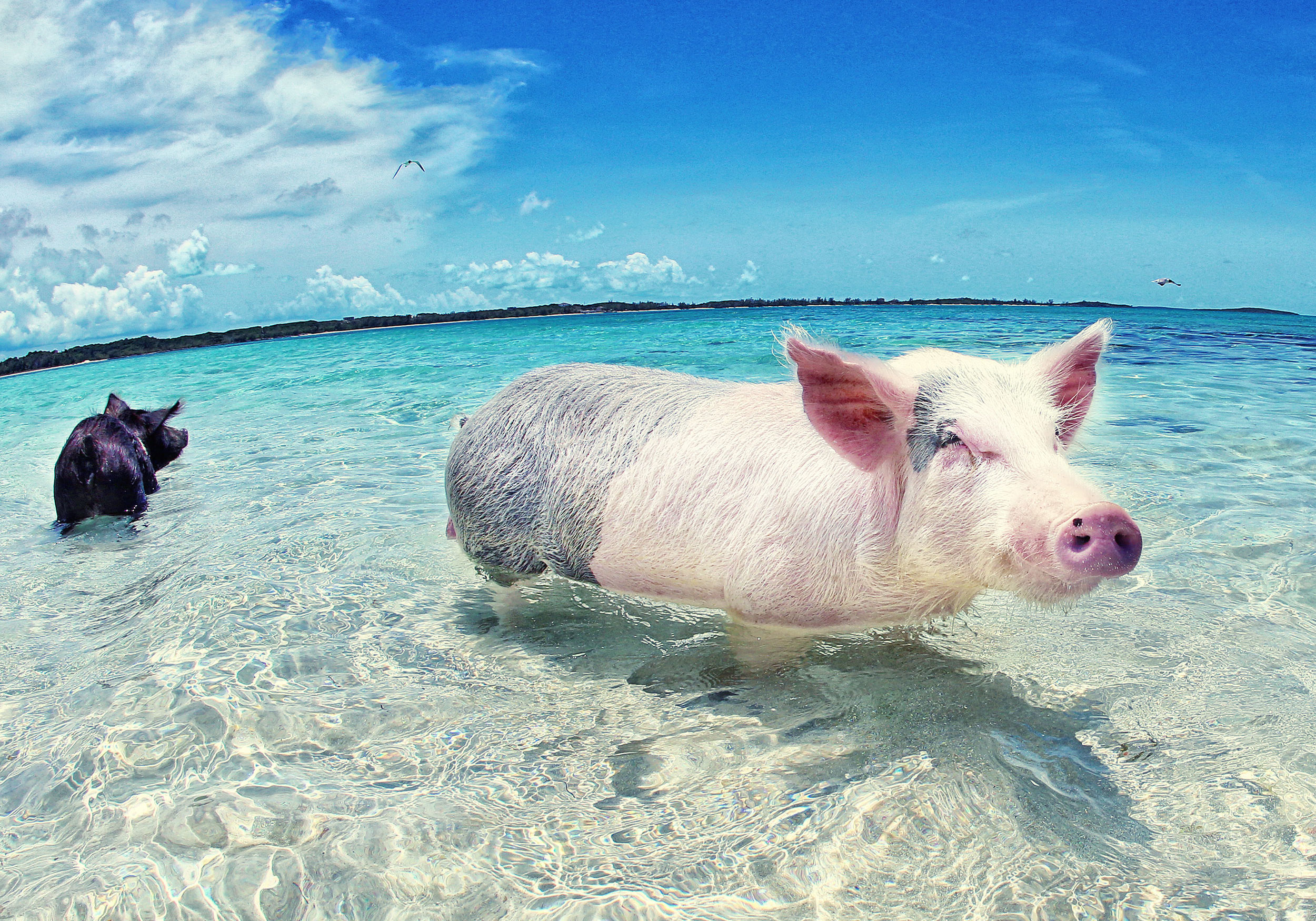 Swim With The Pigs - Bahamas