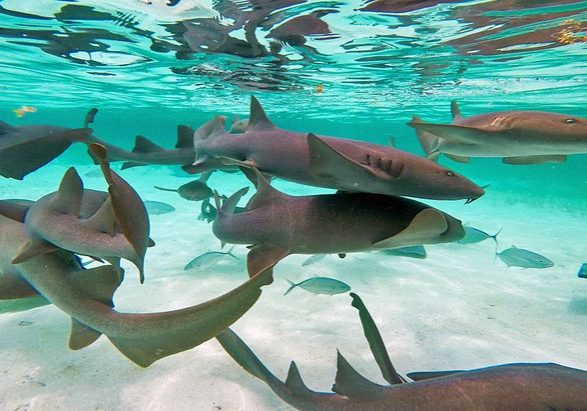 Swim With The Sharks - Belize