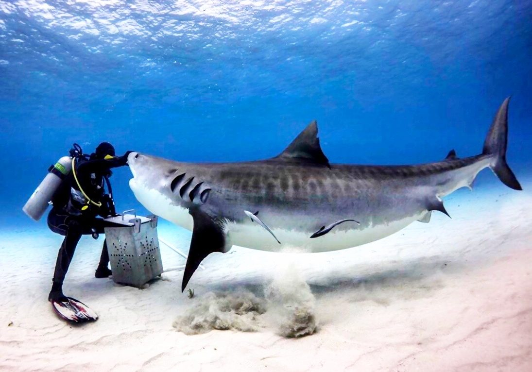 Tiger Beach - David Castain Destinations